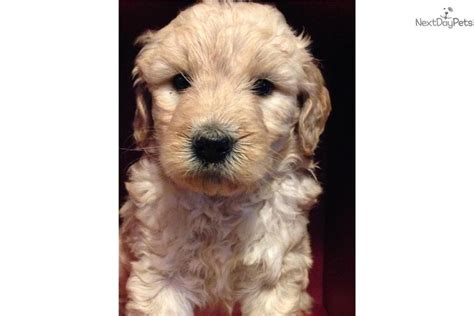 doodle puppies for sale in missouri miniature goldendoodle puppies for sale in missouri