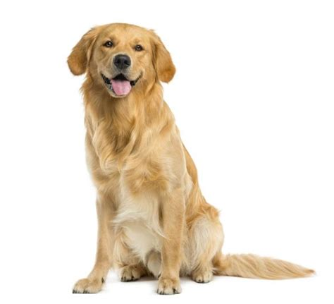 alimentazione golden retriever golden retriever caratteristiche e foto