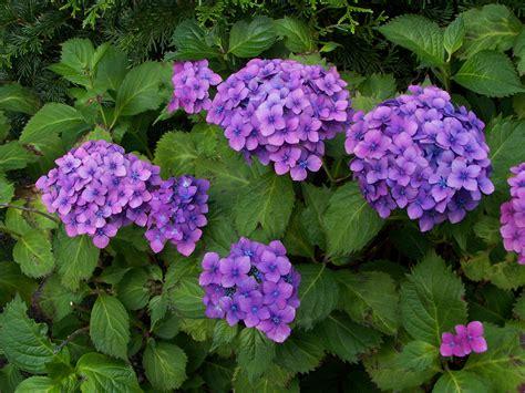 file hydrangea macrophylla jpg wikimedia commons