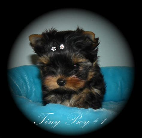 yorkie breeders edmonton yorkie puppies for sale edmonton dogs our friends photo