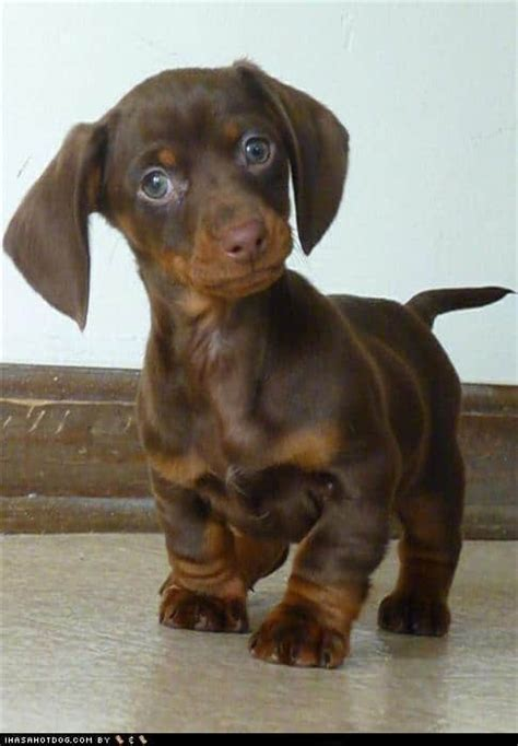top  dachshund   pinterest diy cozy home