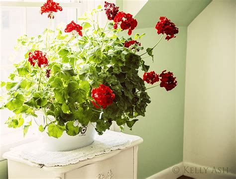 red geraniums indoors flowers to know plants to grow pinterest