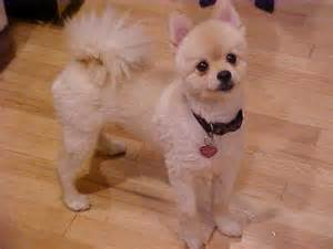 summer haircut pomeranian pomeranian dog grooming how to do it yourself dvd video ebay