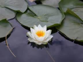 Lotus Screensaver Lotus Flower Screensaver