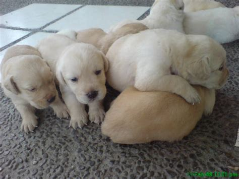 yellow lab puppies for adoption small breed rescue ohio breeds picture