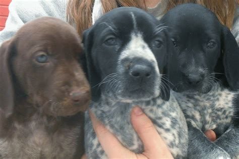 lab pointer mix puppies for sale german shorthaired pointer lab mix puppies quotes