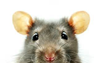 mice could live in your car da exterminating new orleans