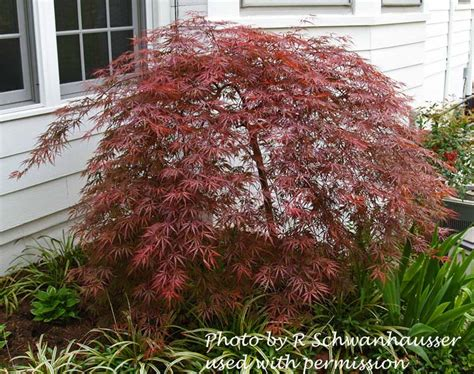 cascading laceleaf japanese maple i have one of these