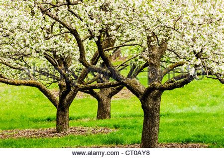 u of mn cherry trees apple trees in bloom at the of minnesota landscape stock photo royalty free image