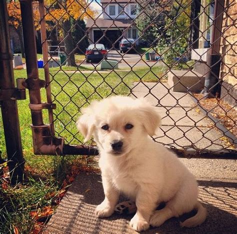golden pomeranian mix the world s catalog of ideas