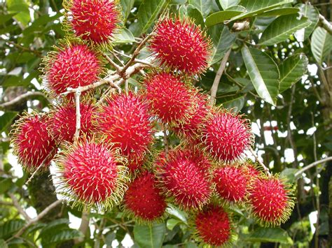 pohon buah rambutan www pixshark images galleries