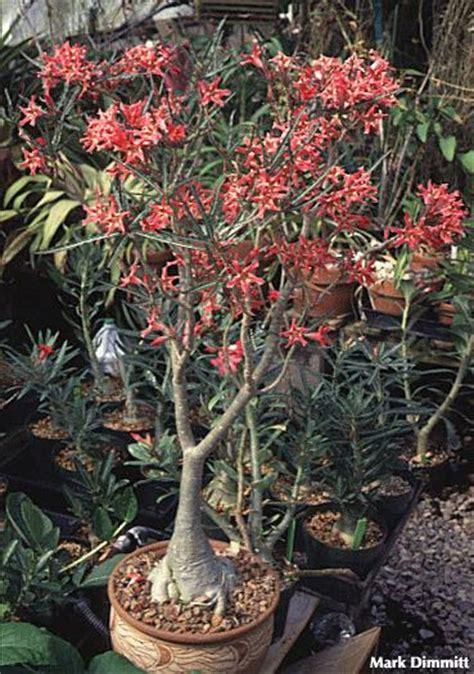 Adenium Somalense adenium species page 3