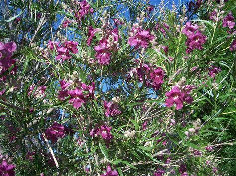 desert flowering shrubs trees that nursery desert willow
