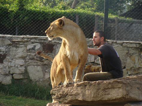 imagenes de leones en zoologico zoo wikizionario