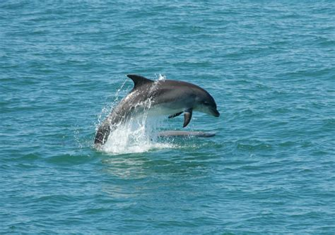 Dolphins of Cardigan Bay Dolphin images, video and sounds