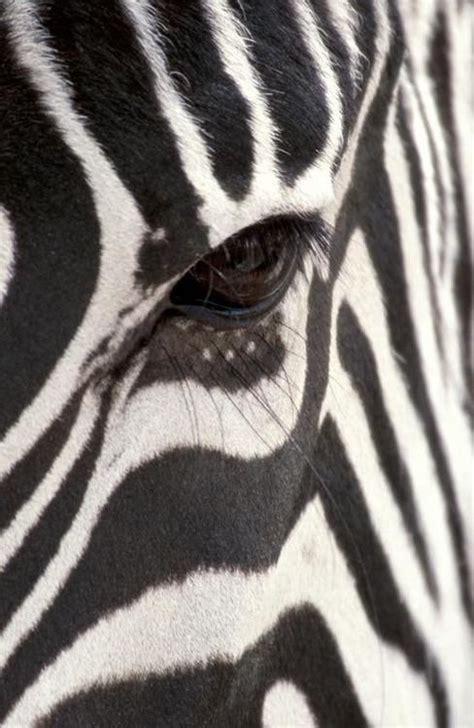 zebra pattern meaning 25 best ideas about zebra painting on pinterest zebra