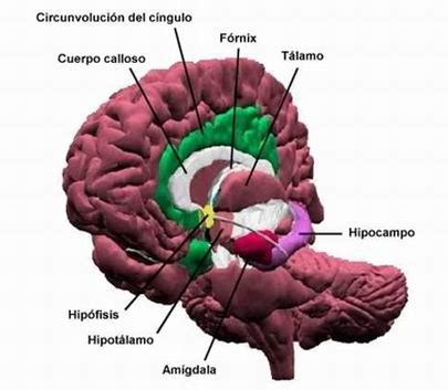 imagenes neuroanatomia pdf sistema nervioso monografias com