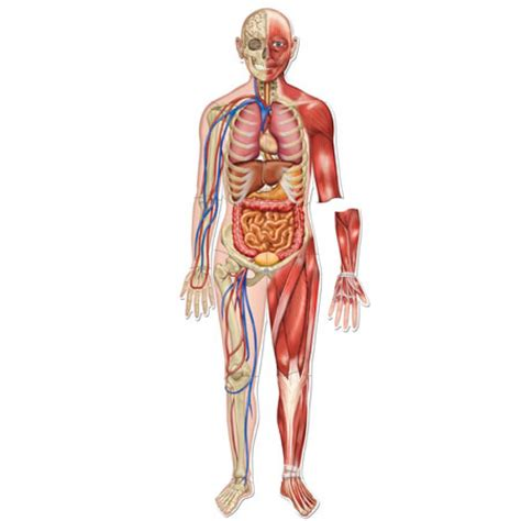 diagrams of the human body diagrams free engine image for user manual download