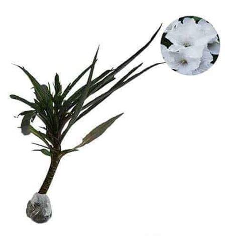 Benih Biji Bunga Plant White jual tanaman white ruellia bibit