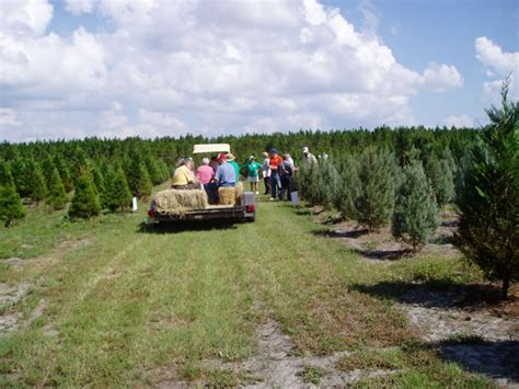 christmas tree farms florida photo albums fabulous homes