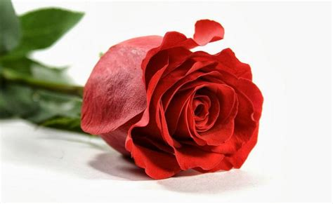 gambar bunga mawar daunbuah