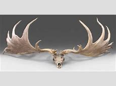 A PAIR OF IRISH GIANT DEER OR 'IRISH ELK' ANTLERS , CIRCA ... Irish Elk