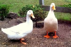 Raising Ducks In Backyard Best Duck Breeds For Pets And Egg Production Hgtv