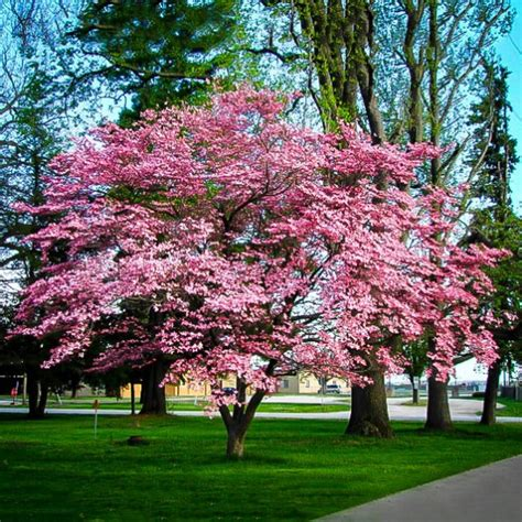 pink tree for sale pink dogwood for sale the tree center