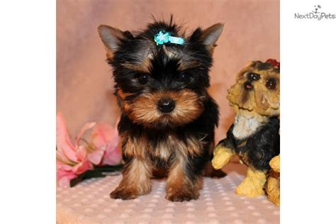 free yorkie puppies near me terrier yorkie puppy for sale near los angeles california e7805a38 83b1
