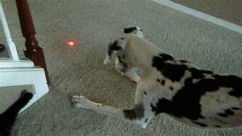dogs and laser pointers dogs and laser pointers ask dr caryn
