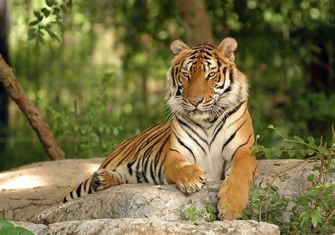 Cargrrrrowl..lux flies endangered tigers to Vietnam ǀ Air ...