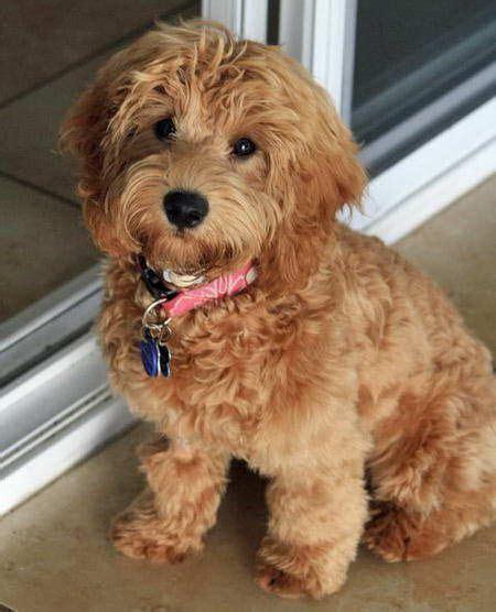 doodle puppy kopen labradoodle pup kopen