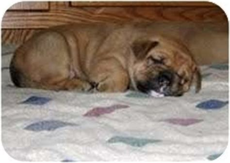golden retriever bulldog mix 15 bulldog cross breeds you ve got to see to believe