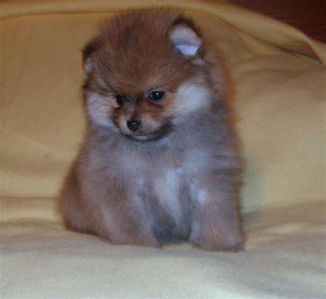 teacup pomeranian sale cheap teacup pomeranian pup for free adoption breeds picture
