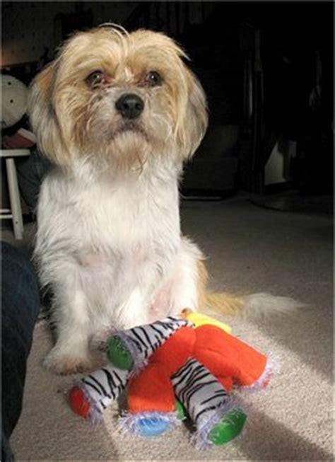 beagle cross shih tzu 35 best images about shih tzu beagle mix on