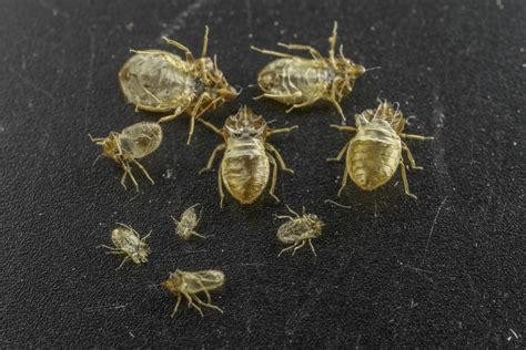 bed bug skin shed shed skins of bed bugs emit pheromones that could help
