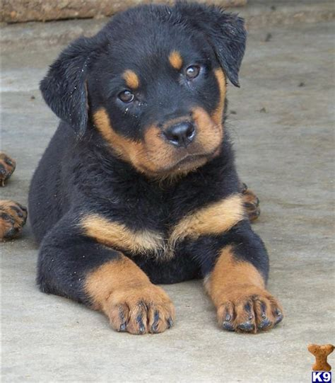 rottweiler puppies arkansas rottweiler puppies for sale in arkansas
