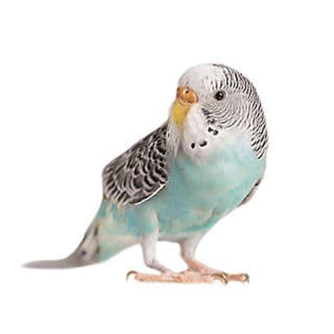Parrot L by Pet Birds For Sale Finches Parakeets Conures More