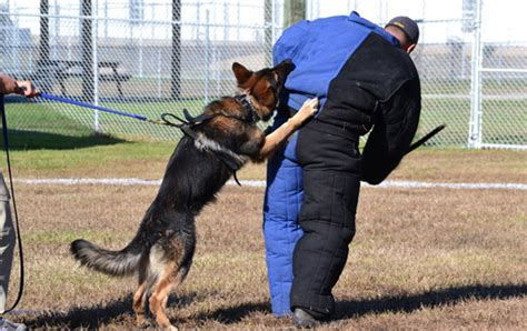 how to security dogs personal protection dogs and executive protection dogs