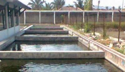 Pakan Ikan Lele Murah Meriah cara budidaya gurami kolam beton lebih mudah