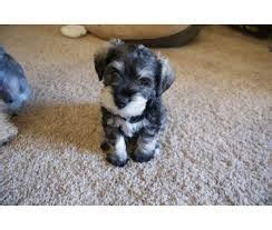 schnauzer puppies for sale in alabama miniature schnauzer puppies for sale 4 left abu dhabi uae storat
