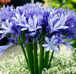 flowers planets agapanthus flowers