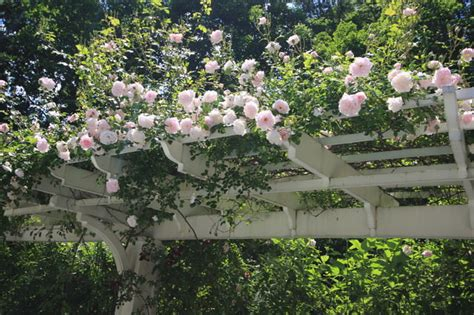 19 Best Pergola Plants Climbing Plants For Pergolas And Best Climbing Vines For Pergolas