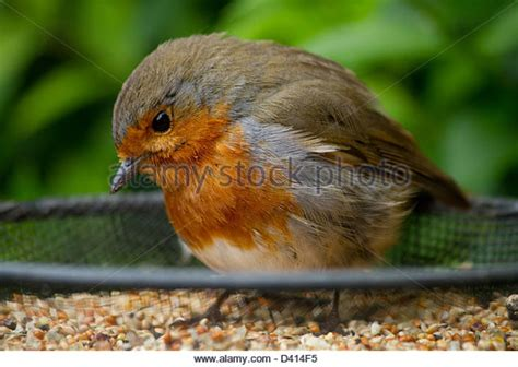 robin eating bird seed stock photos robin eating bird