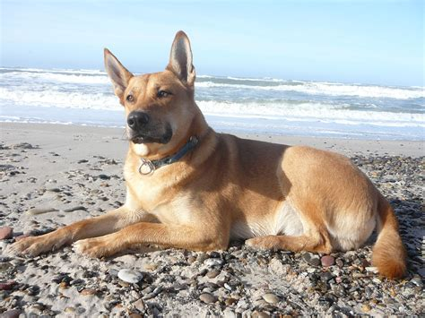 Carolina Dog - Puppies, Rescue, Pictures, Information ...