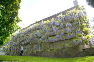 Evergreen Climbing Plant - couple s crudwell village cottage is covered in wisteria daily mail online