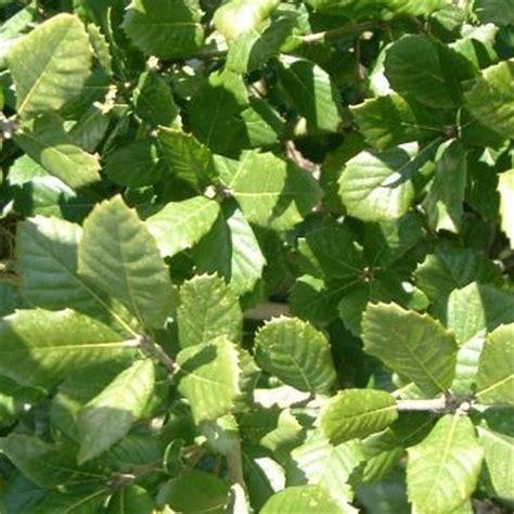 trees uk quercus ilex evergreen holm oak trees for sale
