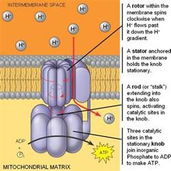 The Movement Of Protons Through Atp Synthase Occurs From The Cellular Respiration Oxidative Phosphorylation
