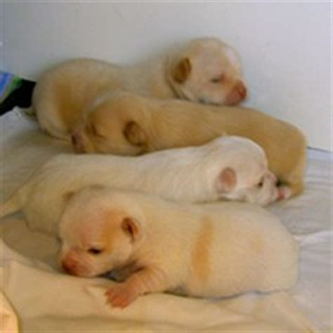when do chihuahua puppies open their puppy pictures or chihuahua puppies for sale from patz dogs
