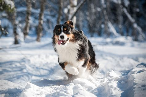best hiking breeds about this breed the australian shepherd was actually bred in the u s breeds picture